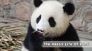 The Happy Life Of Panda   iPanda