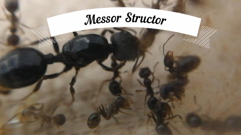 3 Немного о Messor Structor