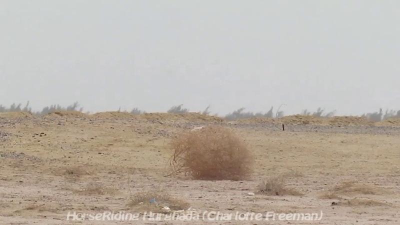 Верблюжья колючка в пустыне возле Хургады