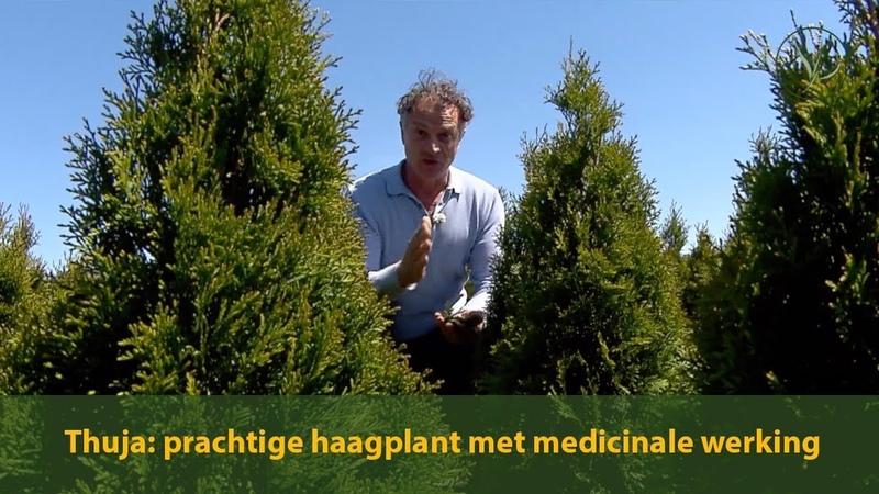 Thuja: een prachtige haagplant met medicinale werking | Jurgen Smit legt uit | Haagplanten.net