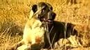 Туркменский Волкодав 1996 год чабан итлери САО Central Asian Work Dogs Alabai Turkmen itleri alabay