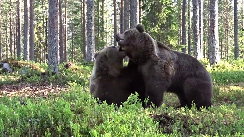 Битва медведей Какие же они здоровые