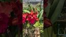 Cattleya Song 'Amazing Thailand' fantastic mutation from cloning