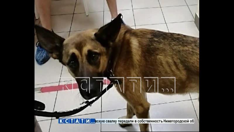 Собачье дело нижегородка отдала питомца на лечение а назад забирает с боем