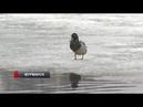 Лисы мышкуют в Мурманске, а городские озера встретили уток пластиковым мусором