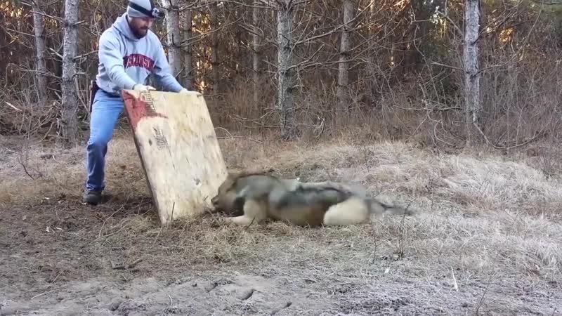 Спасение волка