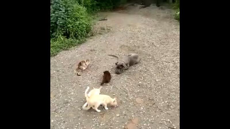 Кане корсо4 5мес Стелла Железная выдержка с котами