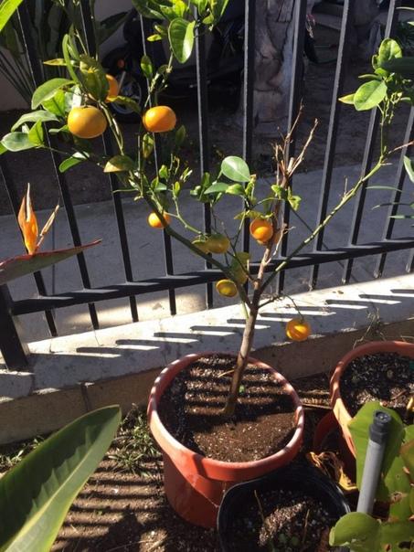 Выращиваем мандарин в домашних условиях