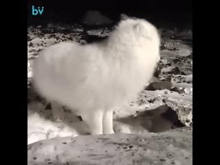 На улицах Воркуты стали замечать белых песцов. Местные жители считают, что зверьки стали выходить к людям за едой