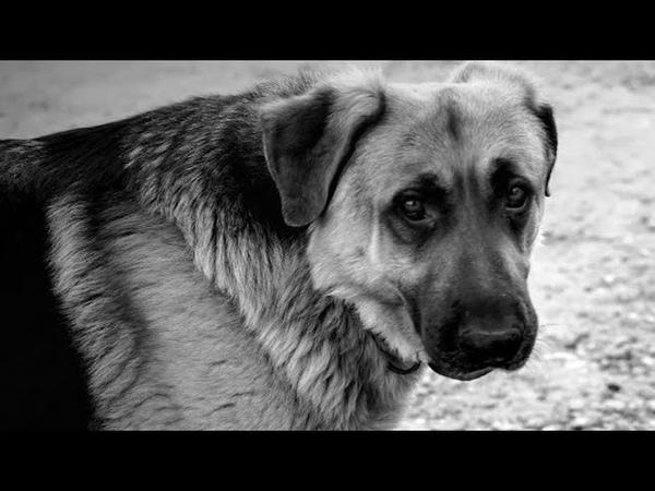 Пса вывели из вольера он опустил голову смирившись с предстоящей эвтаназией…
