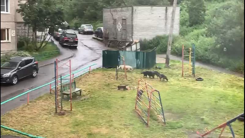 Стая собак в Мурманске