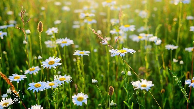 Музыка Живой Природы с Пением Птиц 🎧 На лугу с полевыми цветами ~ 1 час Релакса на закате 🌠