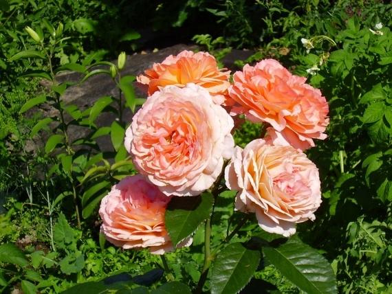 Роза плетистая Барокко