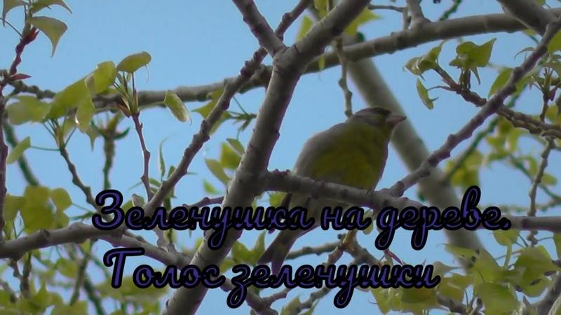 Зеленушка на дереве Голос зеленушки Птицы Сибири