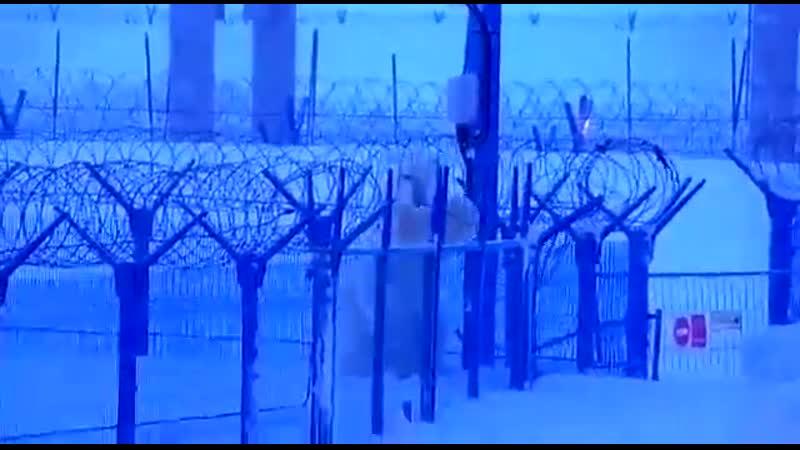 Белый медведь штурмует порт Сабетта Polar bear breaks the fence of port