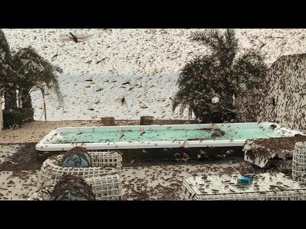 LOCUST PLAGUE Amazing swarms around people houses cars طاعون الجراد 20th Feb 2020