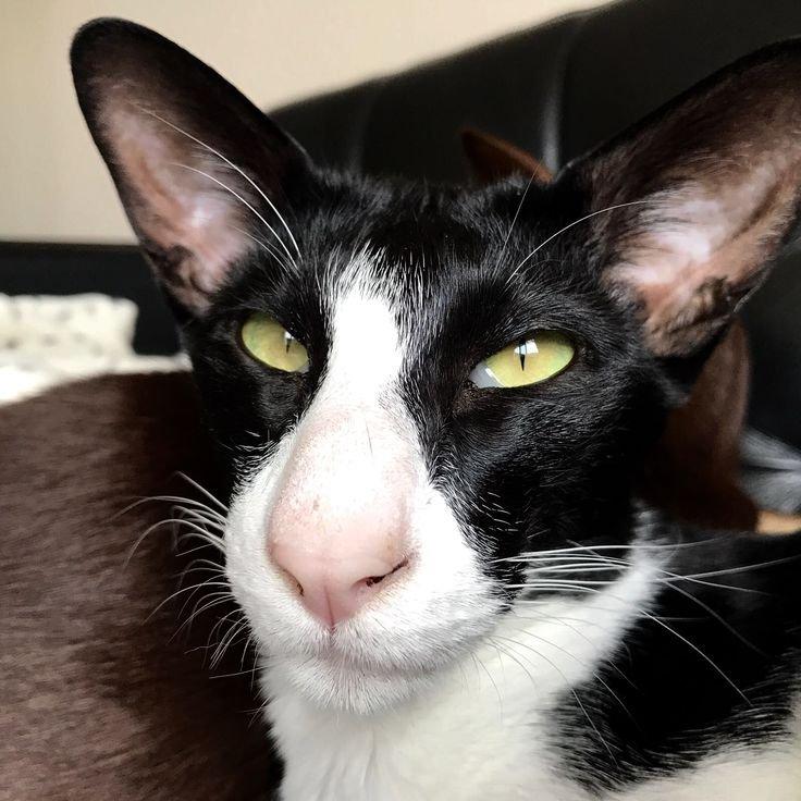 картинки кошек грузин и его грузинки лучшей
