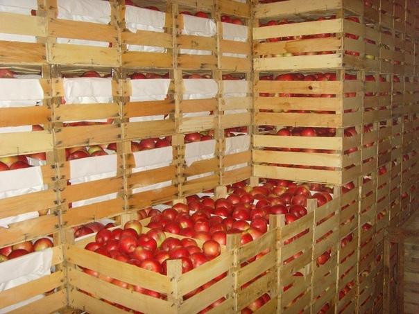 Как сохранить урожай яблок до зимы в погребе Яблоки содержат большое количество витаминов и минералов. Их употребляют в пищу как в свежем виде, так и для приготовления напитков и других