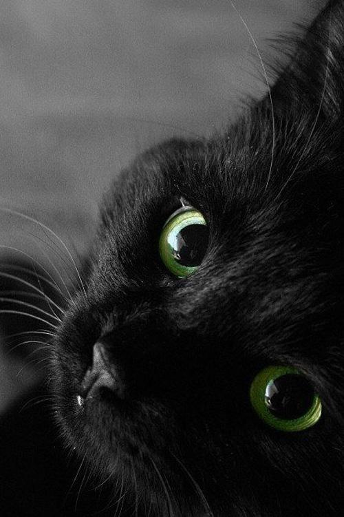 Чёрные кошки приносят только счастье! Не верьте в плохие приметы.
