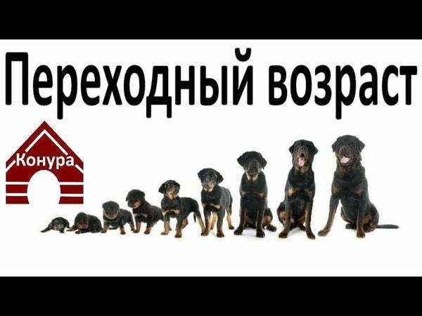 Переходный возраст у собаки
