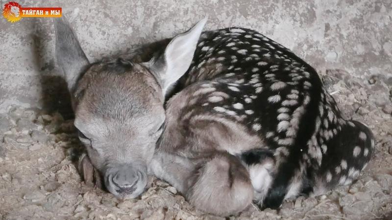 Новорожденный косуленок в копытном семействе Тайгана Newborn deer in the hoofed family of Taigan