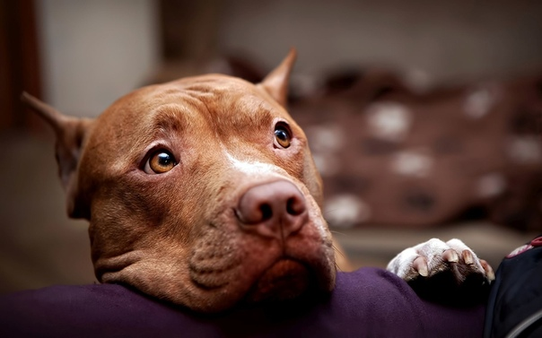 Питбуль - собака-убийца. Питбуль это очень страшная собака-убийца. И люди, которые его держат, тоже убийцы, это ж очевидно. Среди моих друзей и знакомых много убийц. Вообще, под питбулем может