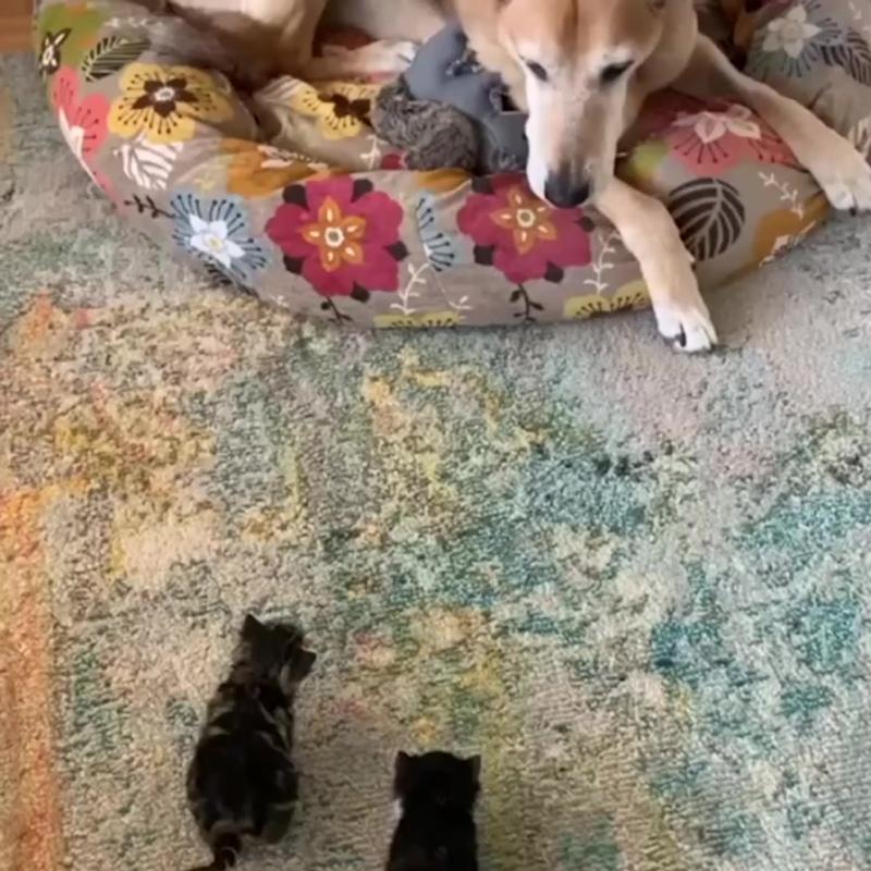 Собака заботится о котятах - чужих деток не бывает - vk.com/cottagers