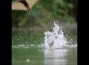 Крокодилы в Австралии охотятся на летучих лисиц, пролетающих над водой..