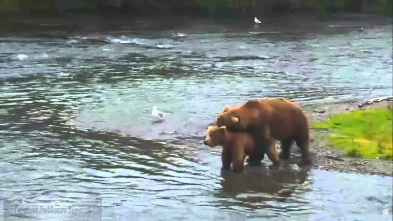 13 Природа Аляски Бурые медведи спариваются на Brooks River Mating of brown bears 2015