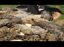 Крокодиловая ферма