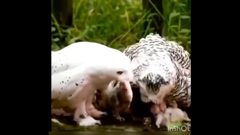 Семья сов решила оттрапезничать семьёй мышей